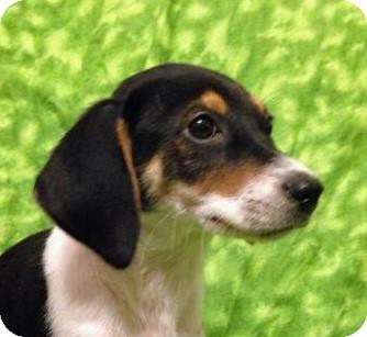 Beagle/Hound (Unknown Type) Mix Puppy for adoption in Houston, Texas - Jr.