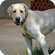Labrador Retriever Dog for adoption in Austin, Texas - Maverick