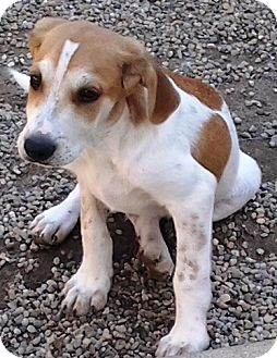 Beagle/Hound (Unknown Type) Mix Puppy for adoption in Kalamazoo, Michigan - Bubba