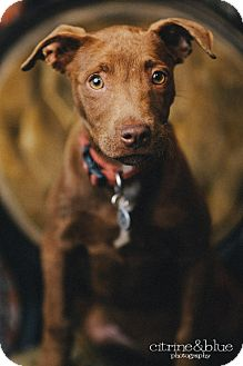 Labrador Retriever/Pit Bull Terrier Mix Puppy for adoption in Portland, Oregon - Olive