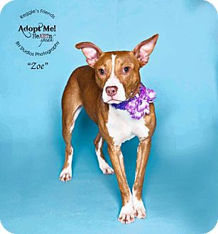 American Staffordshire Terrier/Hound (Unknown Type) Mix Dog for adoption in Boston, Massachusetts - Zoe
