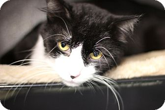 Domestic Longhair Cat for adoption in Midland, Michigan - Oscar