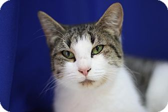 Domestic Shorthair Cat for adoption in Midland, Michigan - Cadence