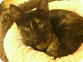 Calico Kitten for adoption in Lake Charles, Louisiana - Brisket and Sierra