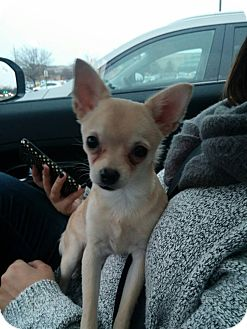 Chihuahua Puppy for adoption in bridgeport, Connecticut - Honey