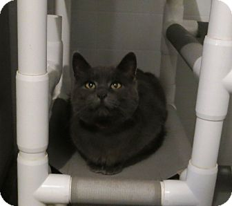 Domestic Shorthair Cat for adoption in Geneseo, Illinois - Cleo
