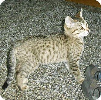 Domestic Mediumhair Kitten for adoption in Columbus, Ohio - Brogan