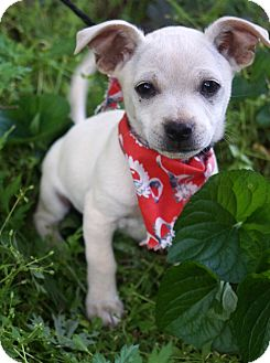 Chihuahua/Pomeranian Mix Puppy for adoption in Newark, Delaware - Taz