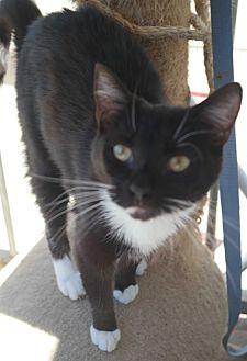Domestic Shorthair Cat for adoption in San Pablo, California - BILLE
