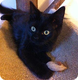 Domestic Shorthair Kitten for adoption in Lombard, Illinois - Dexter