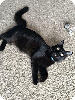 Domestic Mediumhair Kitten for adoption in Denver, North Carolina - Carlos