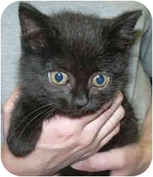 Domestic Shorthair Kitten for adoption in West Warwick, Rhode Island - Hailey