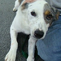 Australian Shepherd Mix Dog for adoption in Rosalia, Kansas - Sadie