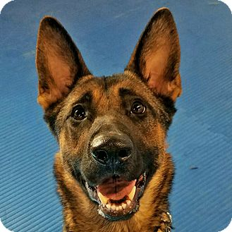 German Shepherd Dog Mix Dog for adoption in New Ringgold, Pennsylvania - Sable