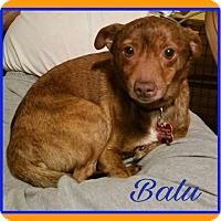 Adopt A Pet :: Balu - Fairmont, WV