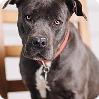 Adopt A Pet :: Giovanna - Portland, OR