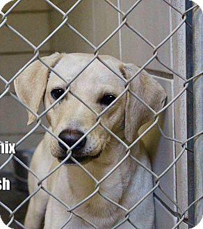 Labrador Retriever/Carolina Dog Mix Dog for adoption in Deer Park, New York - Larry