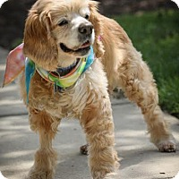 Cocker Spaniel Dog for adoption in Westminster, Maryland - Elmer