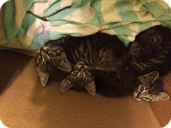 Domestic Mediumhair Kitten for adoption in Marlton, New Jersey - 3 Musketeers