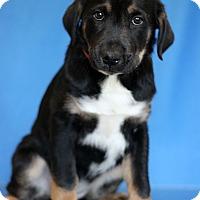 Adopt A Pet :: Brass - Waldorf, MD