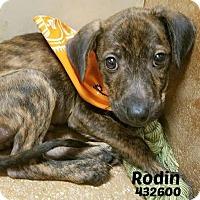 Adopt A Pet :: 432600 Rodin - San Antonio, TX