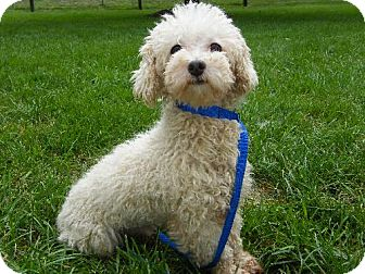 Toy Poodle Dog for adoption in Holland, Michigan - Tidy