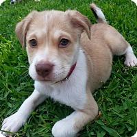 Adopt A Pet :: Bonne - Dallas, TX