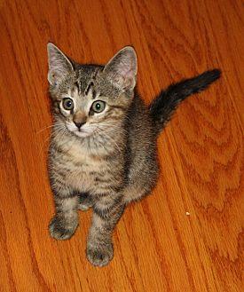 Domestic Shorthair Cat for adoption in Apex, North Carolina - Astra
