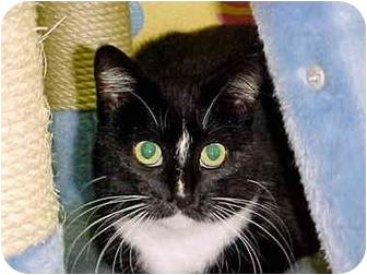 Domestic Shorthair Cat for adoption in HARRISONVILLE, Missouri - SHYLA