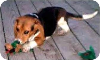 Beagle Puppy for adoption in Kokomo, Indiana - Baby Browser!