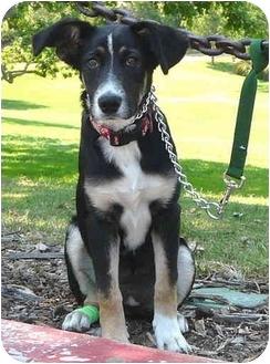 Border Collie/Shepherd (Unknown Type) Mix Puppy for adoption in Los Angeles, California - Lola von Amilia