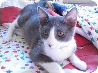Domestic Shorthair Cat for adoption in Davis, California - Aramis (aka Missy)