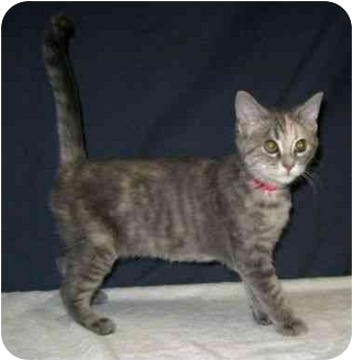 Domestic Shorthair Kitten for adoption in Powell, Ohio - Ruby