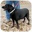Photo 1 - Labrador Retriever Mix Dog for adoption in YERINGTON, Nevada - SHADOW