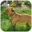Photo 1 - Dachshund Mix Dog for adoption in Clinton, Missouri - Bruzer
