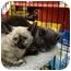 Photo 3 - Siamese Kitten for adoption in San Dimas, California - Siamese Kitten
