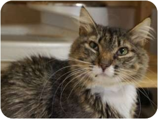 Maine Coon Cat for adoption in Libby, Montana - Jenny