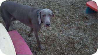 Weimaraner Dog for adoption in Grand Haven, Michigan - Louie