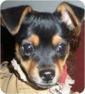 Manchester Terrier Puppy for adoption in Sacramento, California - Jojo