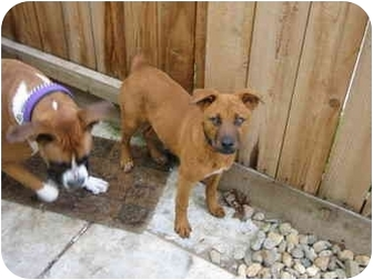 Boxer/Cattle Dog Mix Puppy for adoption in Tracy, California - Ruby Sky