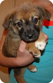 Labrador Retriever/German Shepherd Dog Mix Puppy for adoption in Corona, California - LITTLE LADIES B
