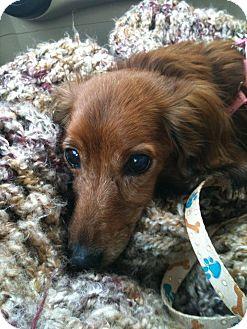 Dachshund Dog for adoption in Jacobus, Pennsylvania - Honey - MD