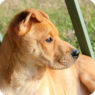Shar Pei/Labrador Retriever Mix Puppy for adoption in Houston, Texas - Handsome