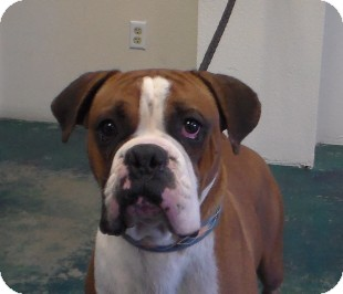 Boxer Dog for adoption in Reno, Nevada - Euro