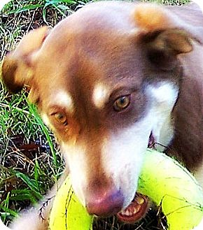 Siberian Husky Mix Dog for adoption in Wakefield, Rhode Island - HELEN of TOYS