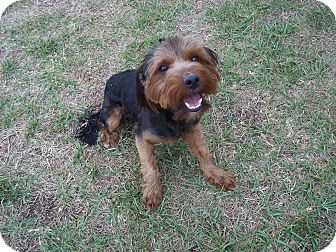 Yorkie, Yorkshire Terrier Mix Puppy for adoption in Tampa, Florida - Bently