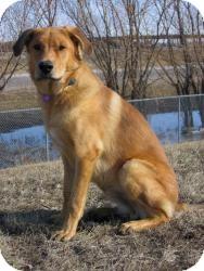 Retriever (Unknown Type)/Shepherd (Unknown Type) Mix Dog for adoption in Saskatoon, Saskatchewan - Bo