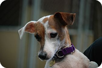 Jack Russell Terrier Dog for adoption in Rhinebeck, New York - Jenny