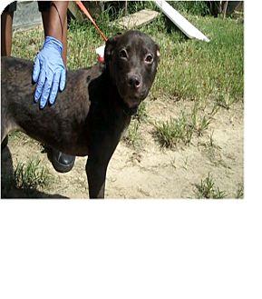 Labrador Retriever Mix Dog for adoption in Philadelphia, Pennsylvania - Didi