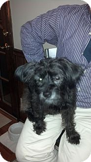 Poodle (Miniature)/Yorkie, Yorkshire Terrier Mix Dog for adoption in Marlton, New Jersey - Lucy